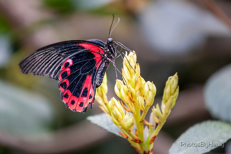 Scarlet Mormon by Photos by Healy
