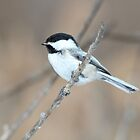 Black-capped Chickadee in Spring by hummingbirds
