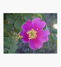 Wild Wild Rose Photographic Print