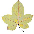 Maple leaf by Paul CESSFORD