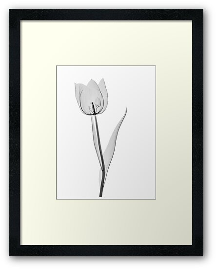 Tulip by Paul CESSFORD