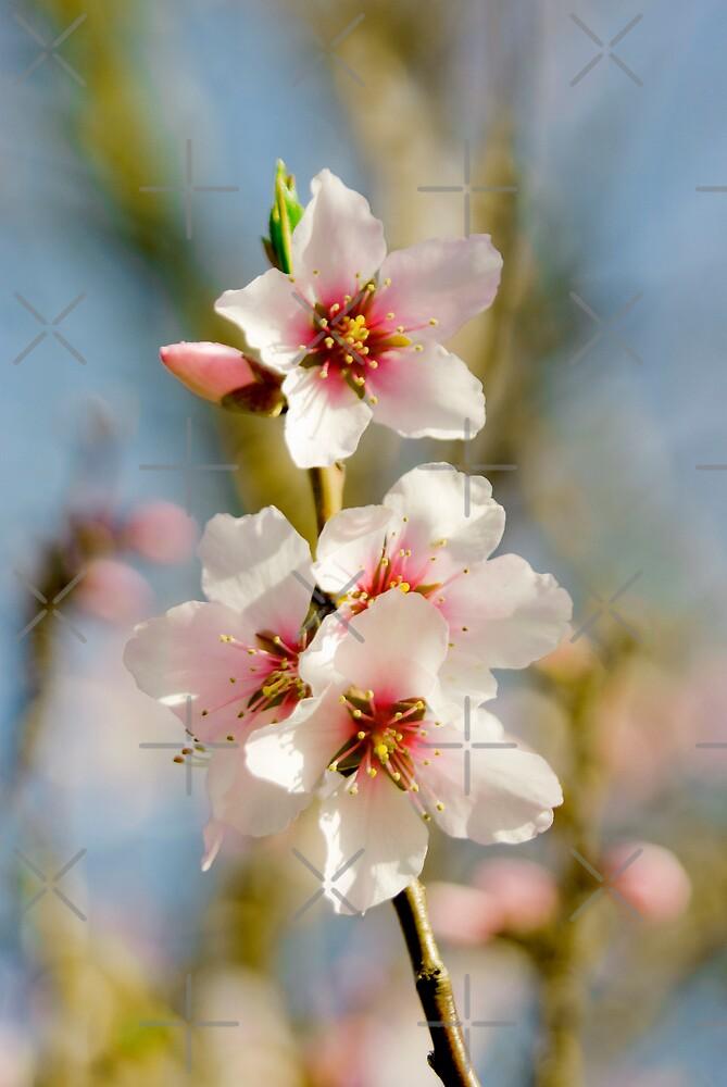 Cherry Blossom by Catherine Hamilton-Veal  ©