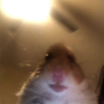 Hamster Staring at Phone by stertube