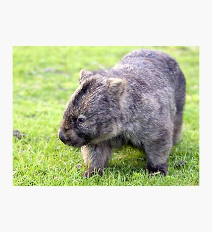 Australian Wombat Photographic Print