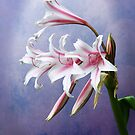 Pink Striped White Lily Flowers by DebiDalio