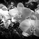 BW orchids by rondo620