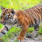 Sumatran Baby Tiger On the Run by richardbryce