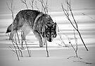 My Buddy Lobo - Creep by Scott Denny