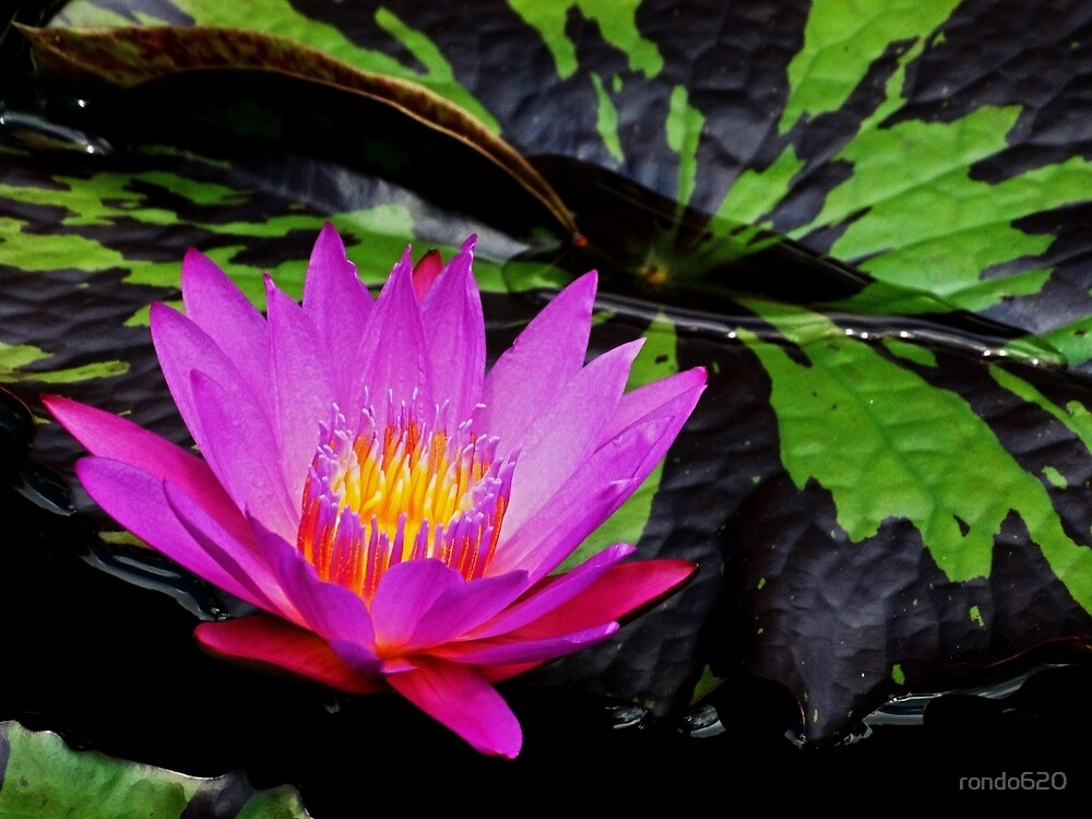 Purple water lily by rondo620