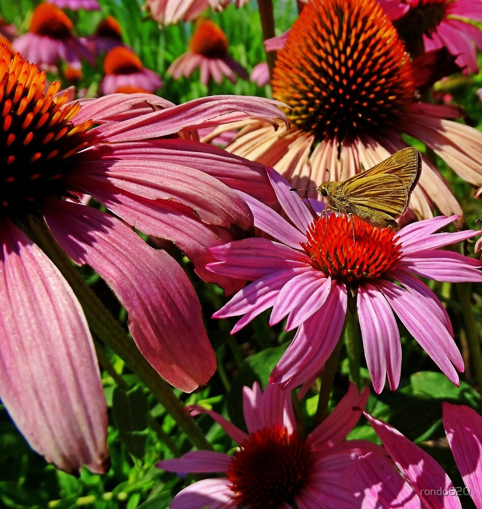 Butterfly on purple cone flower by rondo620