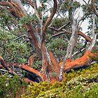 Tasmania Gum by Harry Oldmeadow