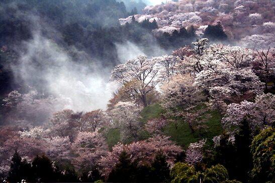 « Cherry  Blossom  , Nara  Yoshino , JAPAN » par yoshiaki nagashima