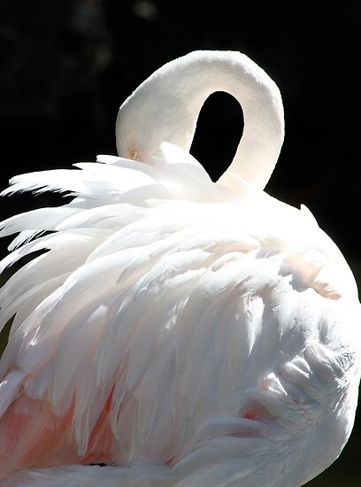 Greater Flamingo by Kelly Robinson