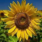 Flower of the Sun by Penny Smith