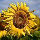 Sunny Face of Gold by Penny Smith