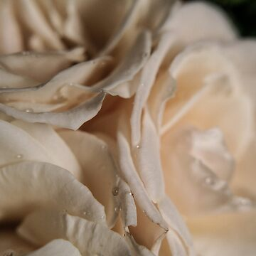 white roses by filthy-english