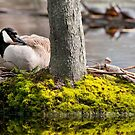 Canada Goose On Nest by Michael Cummings