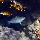 The Red Sea Longnose Parrotfish by hurmerinta