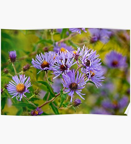 New England Aster Poster