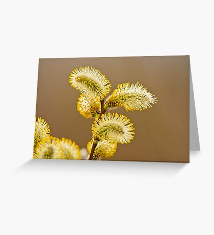 Spring Time Pussy Willow Greeting Card