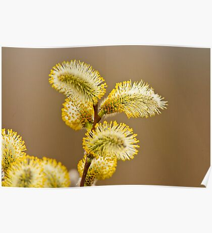 Spring Time Pussy Willow Poster