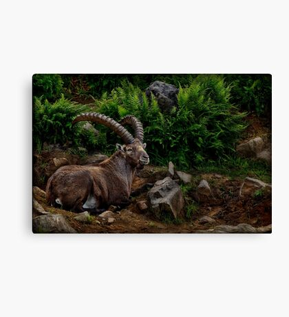 Ibex on Hill  Canvas Print