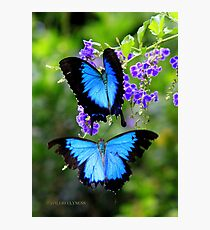 Papillio Ulysess in a Courtship flight  Photographic Print