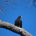 Perched Vulture by Cynthia48