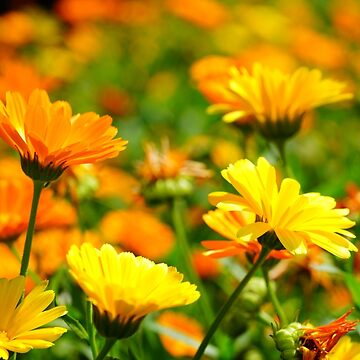 Yellow and orange flowers by fourretout