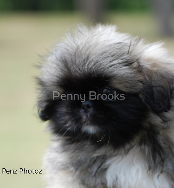 Pekingese baby - head study by Penny Brooks