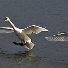 Trumpeter Swans: Clear the Runway by Nancy Barrett