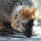 Madagasca lemur 2014 by maureenclark