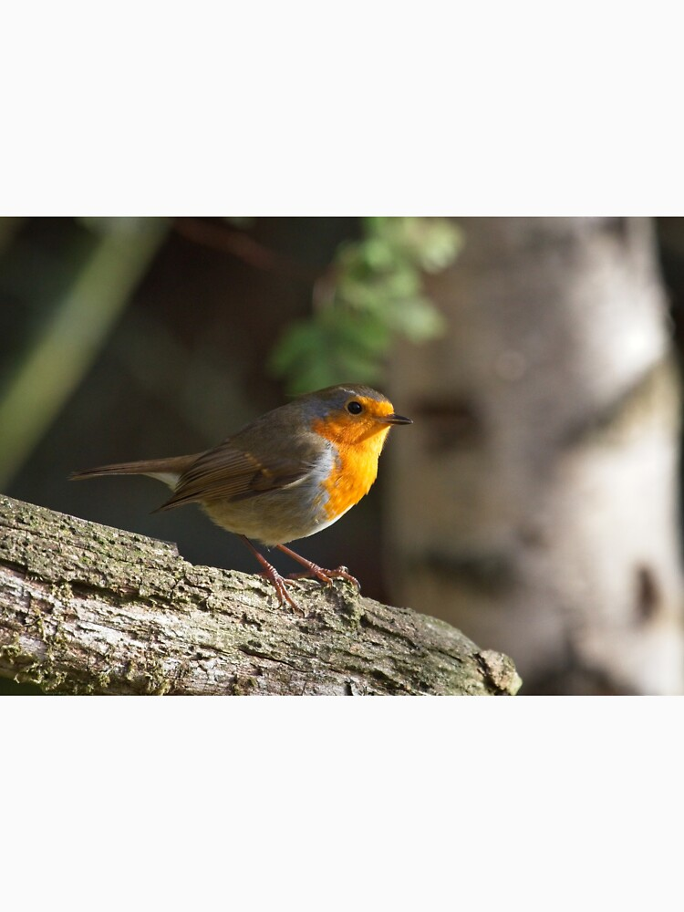 Robin Red Breast (Erithacus rubecula) by robcole