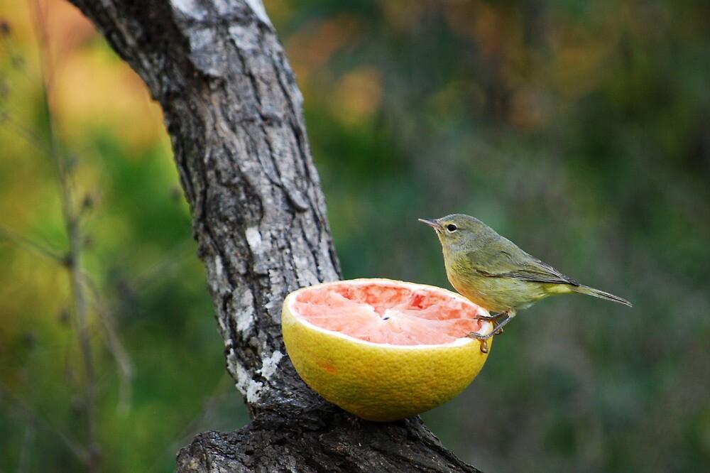 Orange-Crowned Warbler by Jennifer Suttle