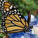 Butterfly by Dalmatinka