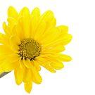 Mellow Yellow by Lynne Morris