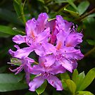 Amazing Rhododendron by Lovemydesigns