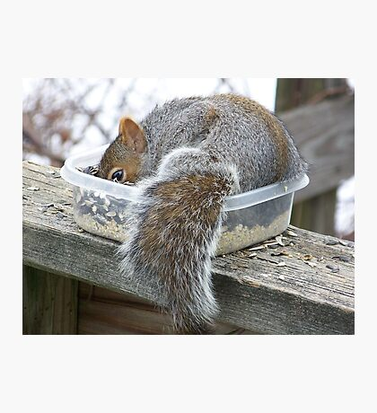 A Gray Squirrel making himself comfortable. Photographic Print