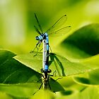 Double Damselfly by AnnDixon