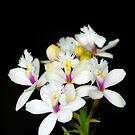 Epidendrum Reed Stem Flower by Jason Pepe