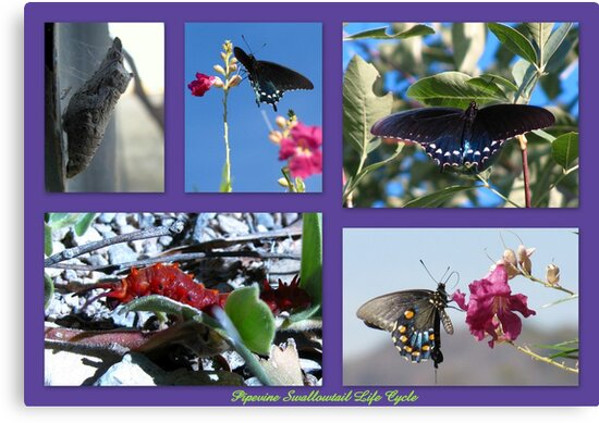 Pipevine Swallowtail Life Cycle by Kimberly Chadwick