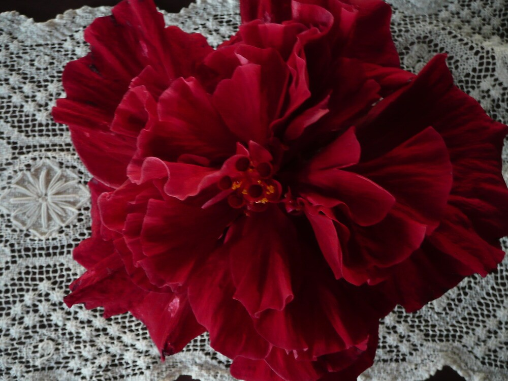 Dark Red Double Hibiscus By Mywildscapepics Redbubble