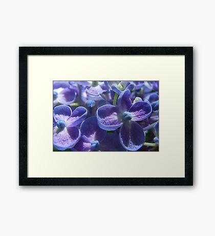 Bubble Blue Hydrangea Framed Print