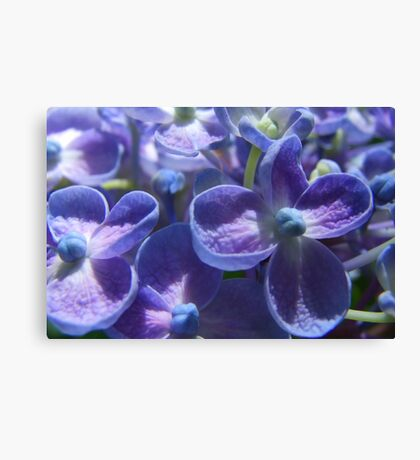 Bubble Blue Hydrangea Canvas Print
