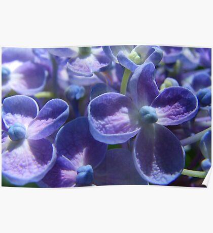 Bubble Blue Hydrangea Poster