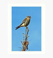 American Kestrel ~  Falco-sparverius Art Print