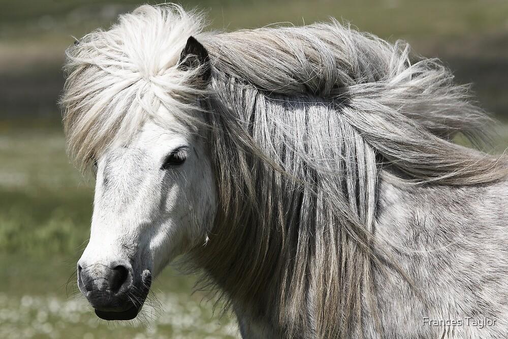Shetland Pony Mare  by Frances Taylor
