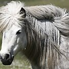 Shetland Pony Mare  by Frances Taylor