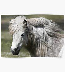 Shetland Pony Mare  Poster