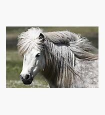 Shetland Pony Mare  Photographic Print